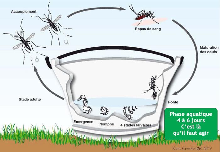 les phases de la vie du moustique tigre